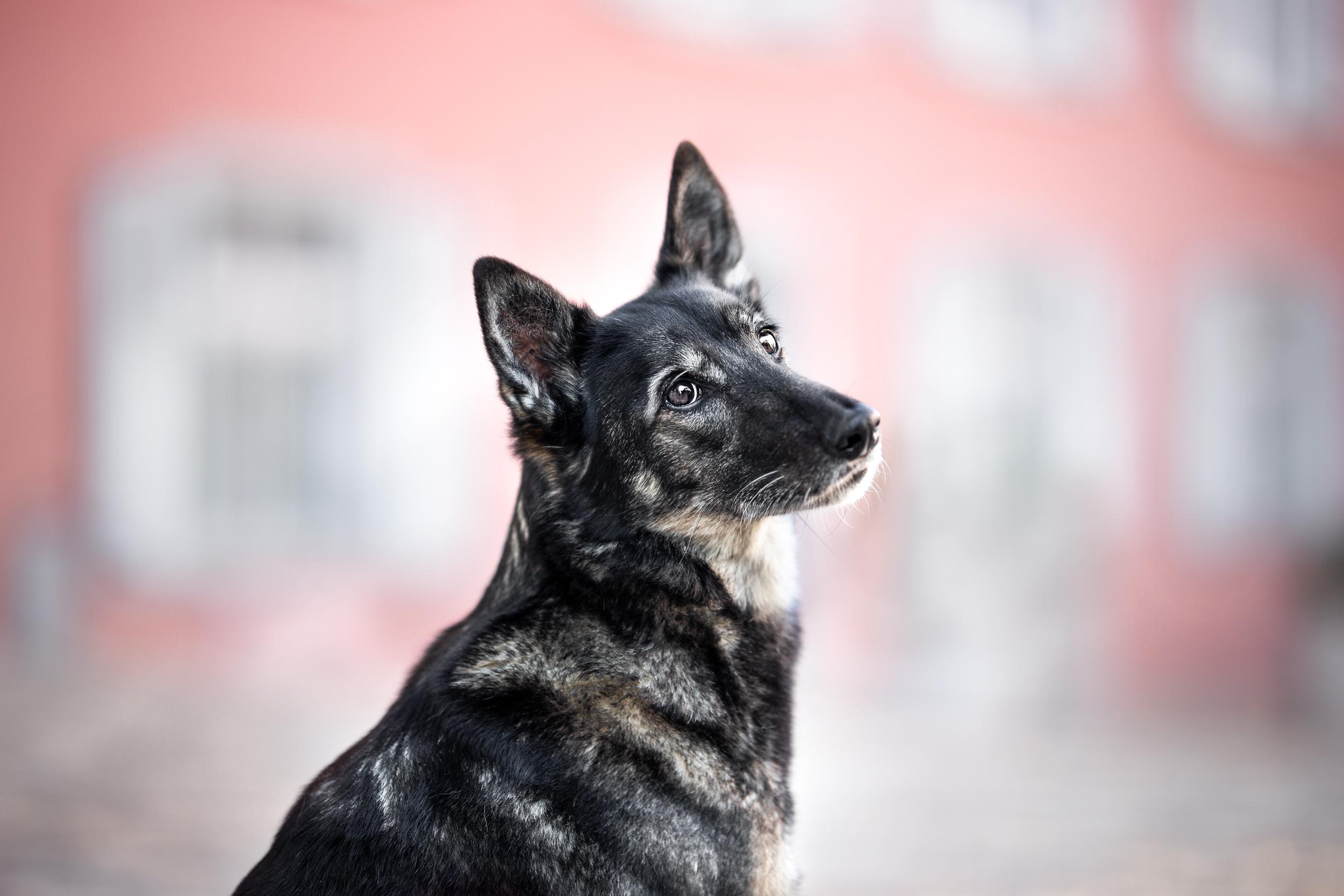Portrait eines Schäferhundmischlings in Rheinfelden Schweiz