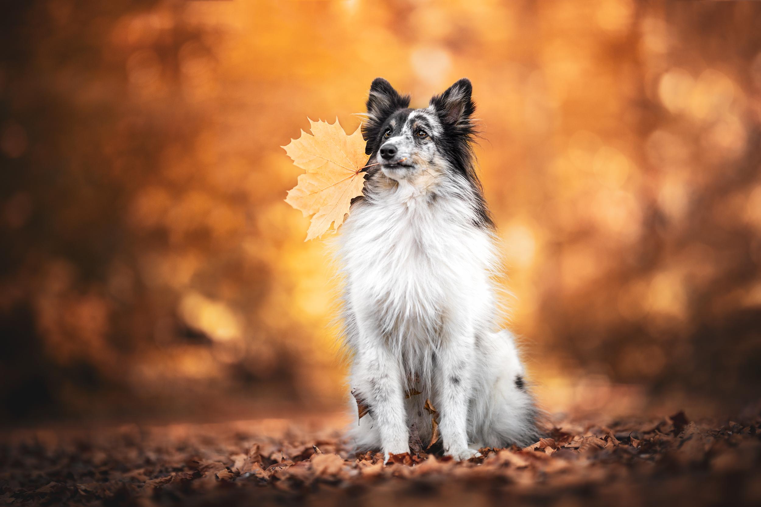 Sheltie sitzt in einem Meer aus Herbstblättern in einem Wald bei Möhlin