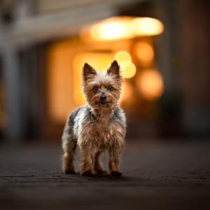Yorkshire Terrier steht im Abendlicht in Rheinfelden