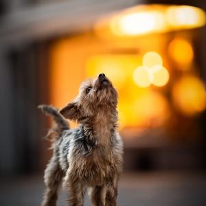 kleiner Yorkshire Terrier heult wie ein Wolf in der Altstadt von Rheinfelden
