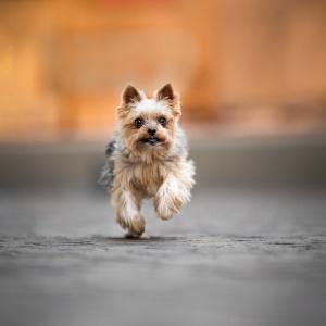 Yorkshire Terrier rennt durch die Altstadt von Rheinfelden
