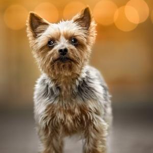 Yorkshire Terrier steht in einer Gasse in Rheinfelden Schweiz