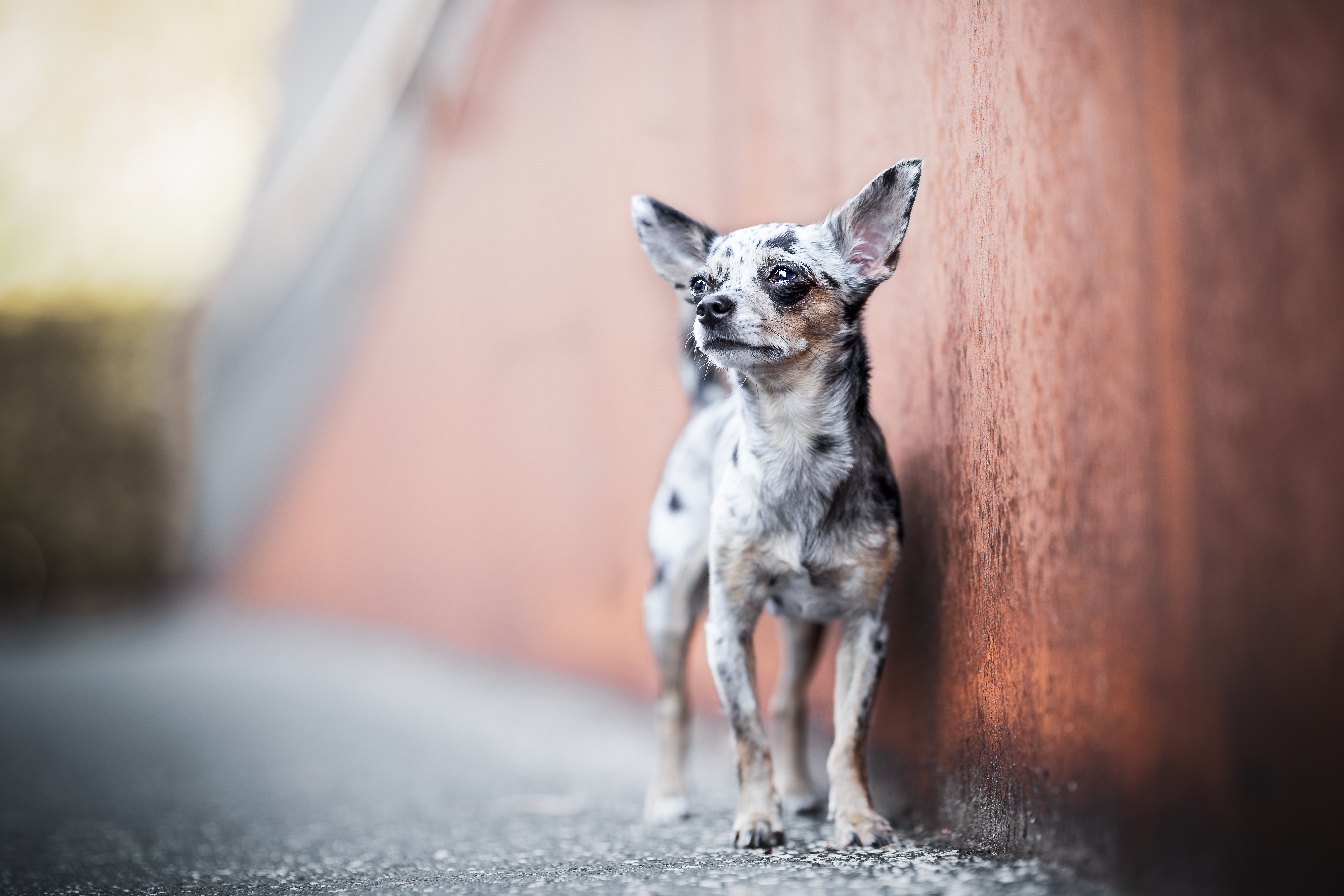 Chihuahua steht an einer rostigen Mauer in der Altstadt von Rheinfelden Schweiz