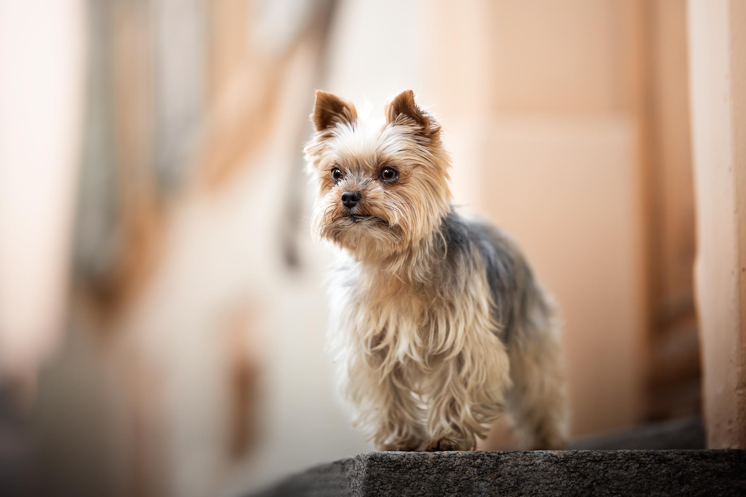 Portrait einer Yorkshire Terrier Hündin in der Altstadt von Rheinfelden
