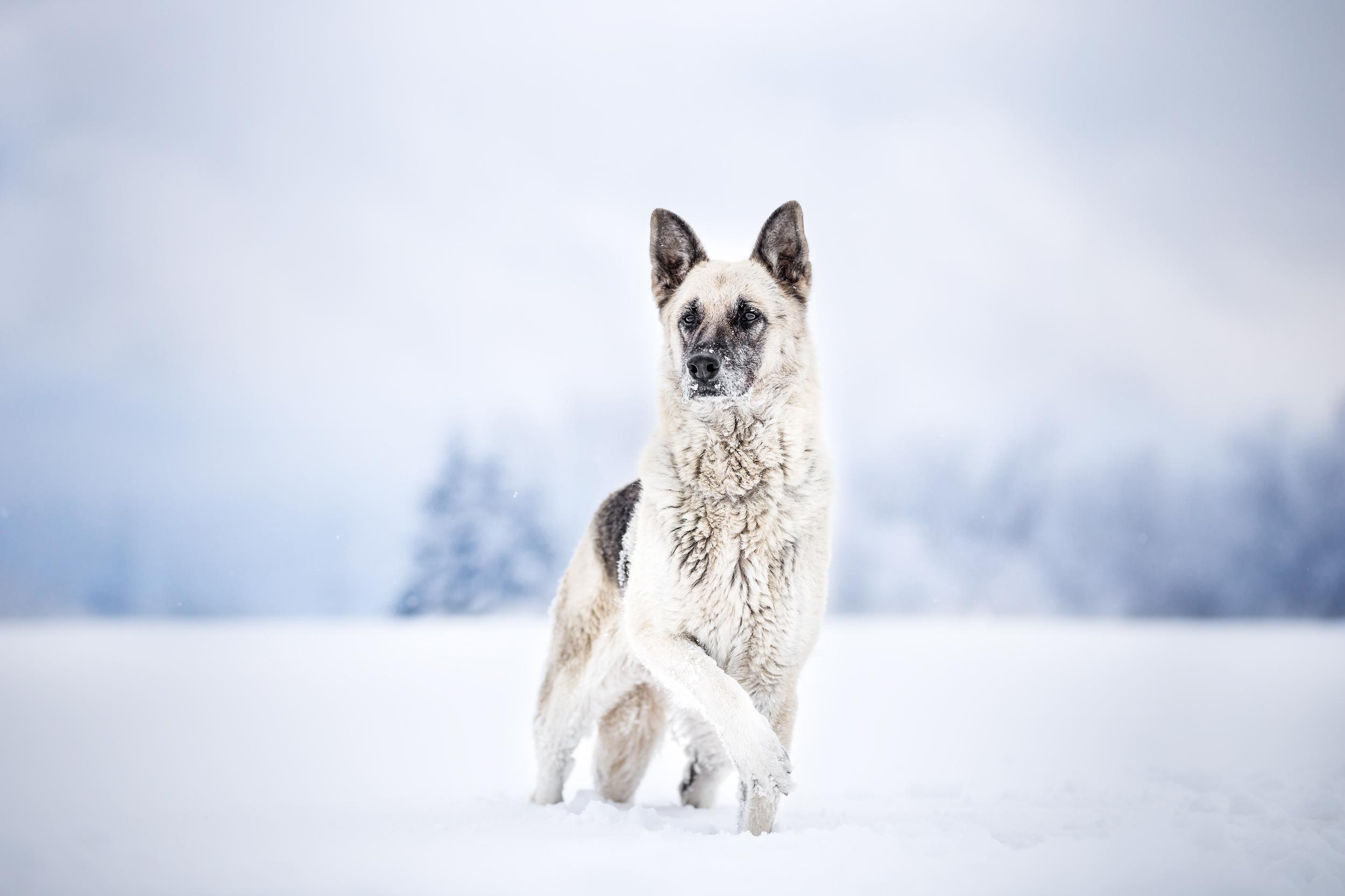 Schaeferhundmischling im Schnee Photo-Passion Schweiz Hundefotografie