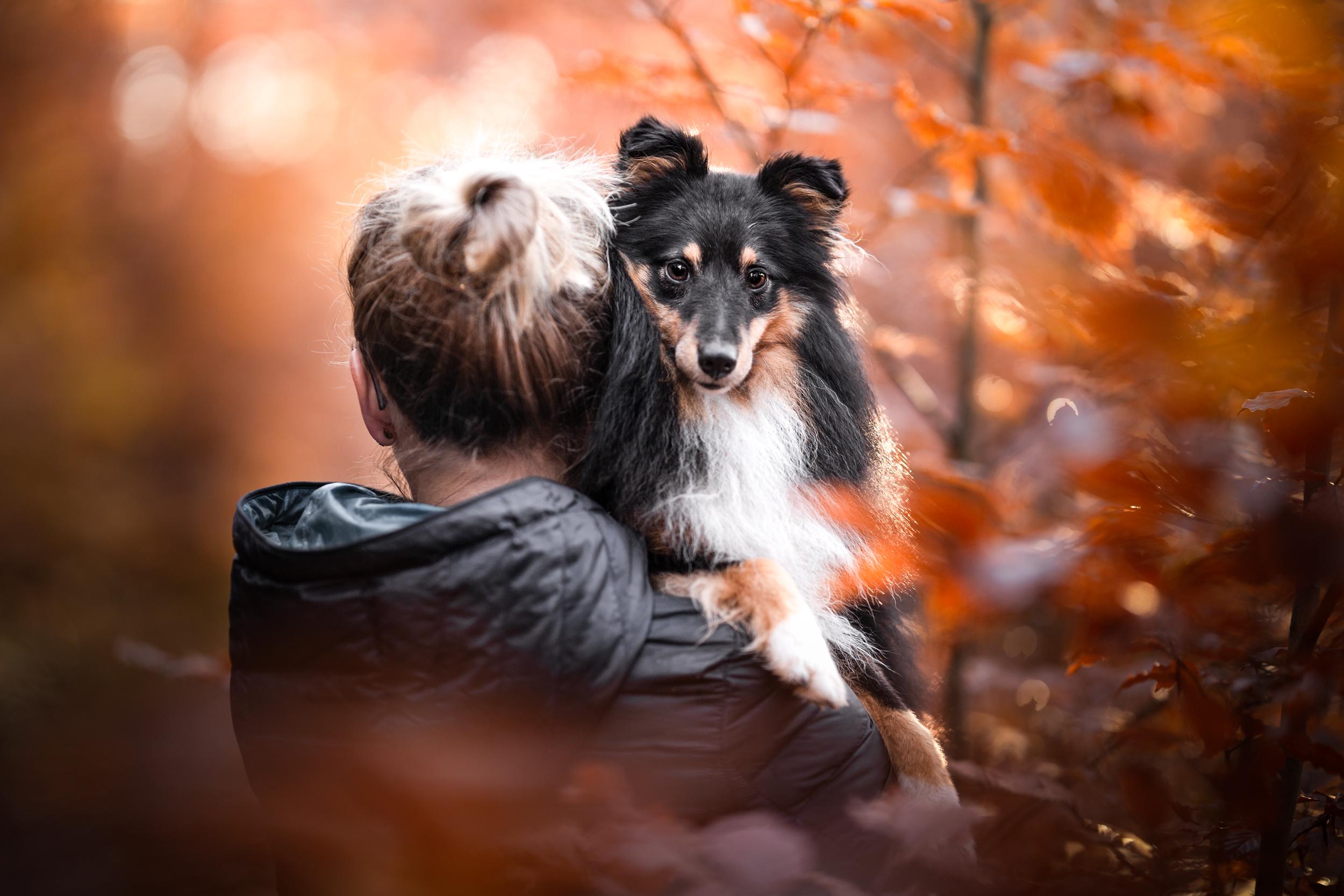Sheltie auf dem Arm im roten Herbstlaub in der Schweiz