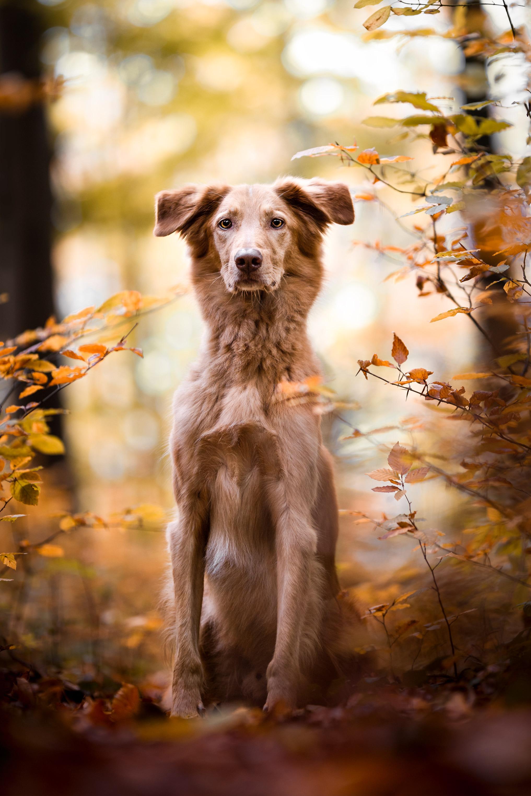 Windhundmischling im bunten Herbstlaub im Wald von Möhlin (Schweiz)