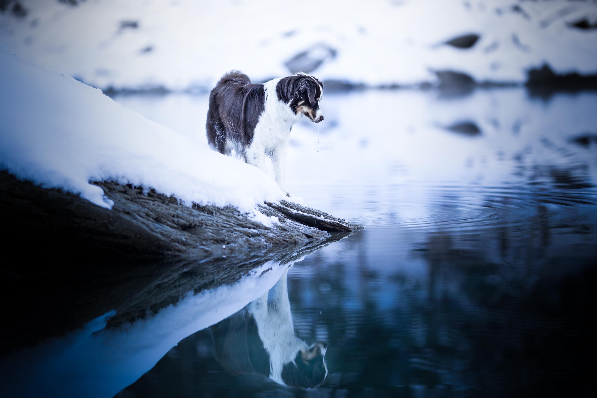 Australian Shepherd Caumasee Schweiz Winter Hundefotografie Photo-Passion