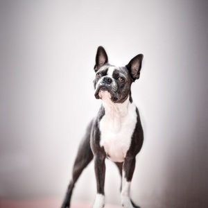 Boston Terrier Hundefotografie Schweiz