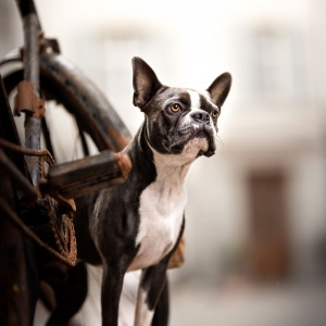 Boston Terrier am Rad