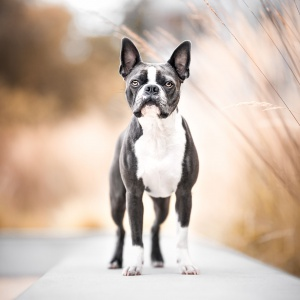 Boston Terrier in Rheinfelden Schweiz stehend