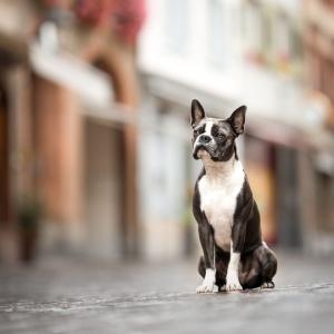 Boston Terrier in der Altstadt von Rheinfelden Schweiz
