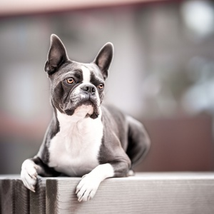 Boston Terrier liegt
