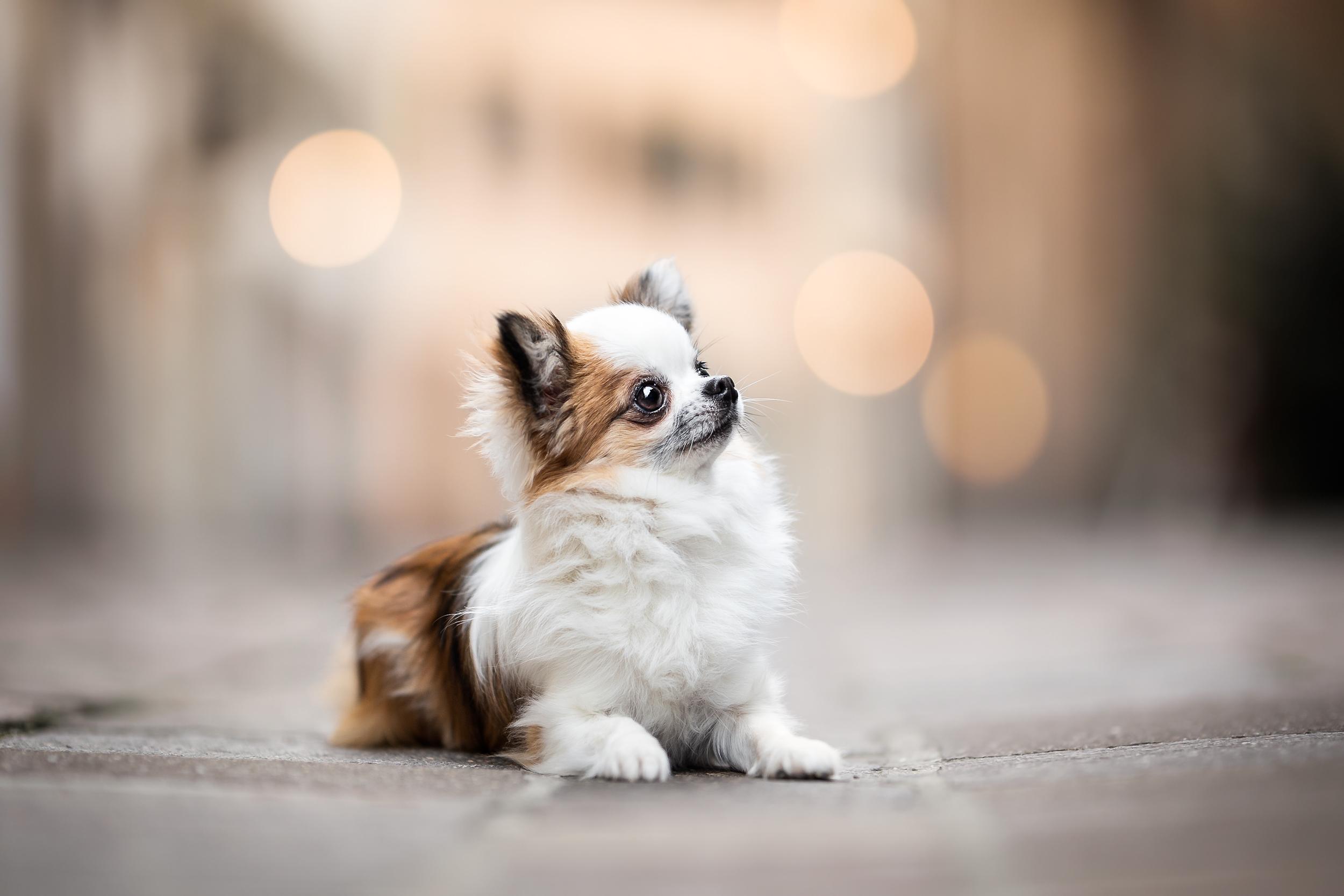Chihuahua in der Altstadt von Rheinfelden Schweiz