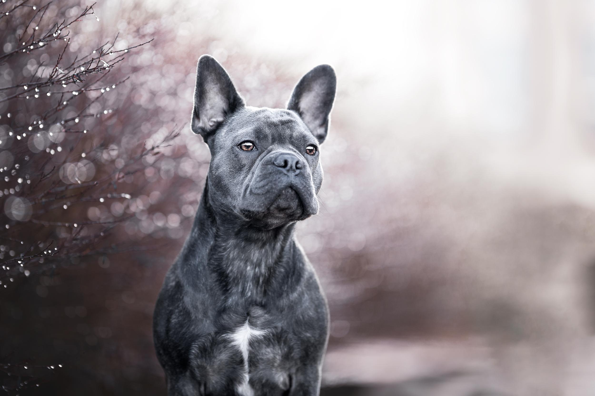 Hundefotografie Schweiz: Franzoesische Bulldogge in Rheinfelden Schweiz Photo-Passion