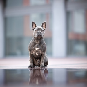 French Bulldog in Rheinfelden Schweiz Photo-Passion