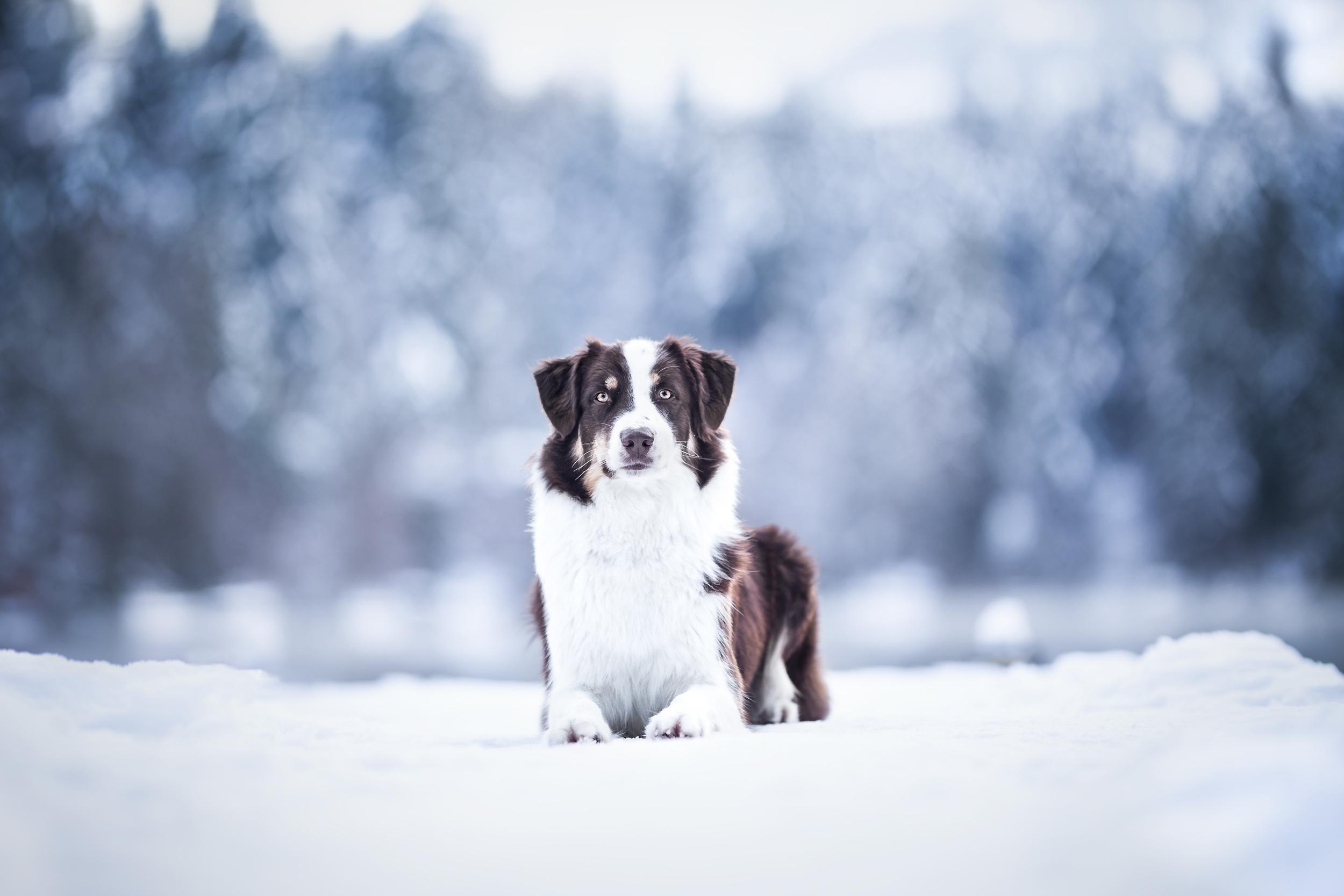 Hundefotografie Schweiz Australian Shepherd Schnee Photo-Passion Denise Czichocki-