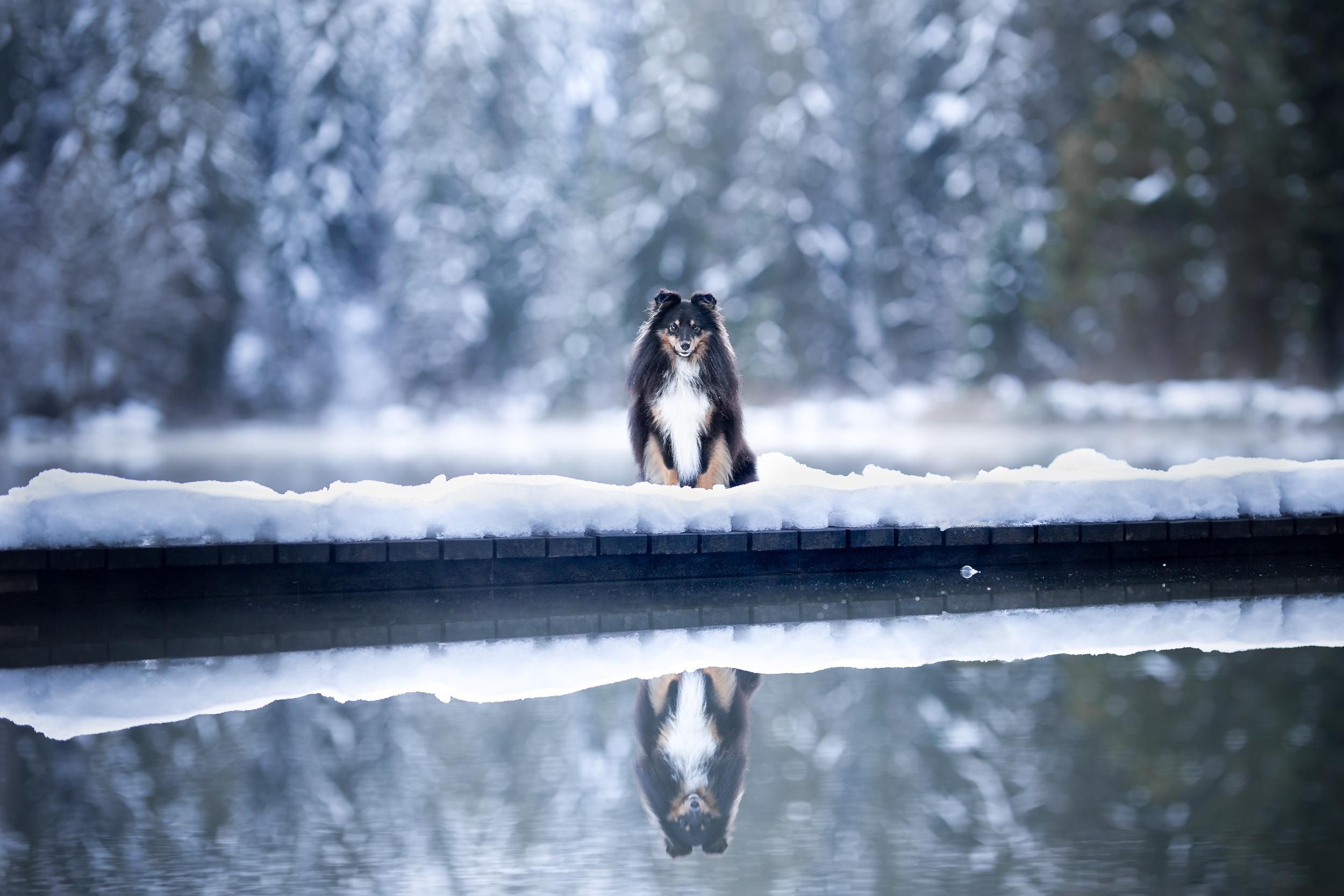 Sheltie Wasserspiegelung Crestasee Schweiz Hundefotografie Photo-Passion