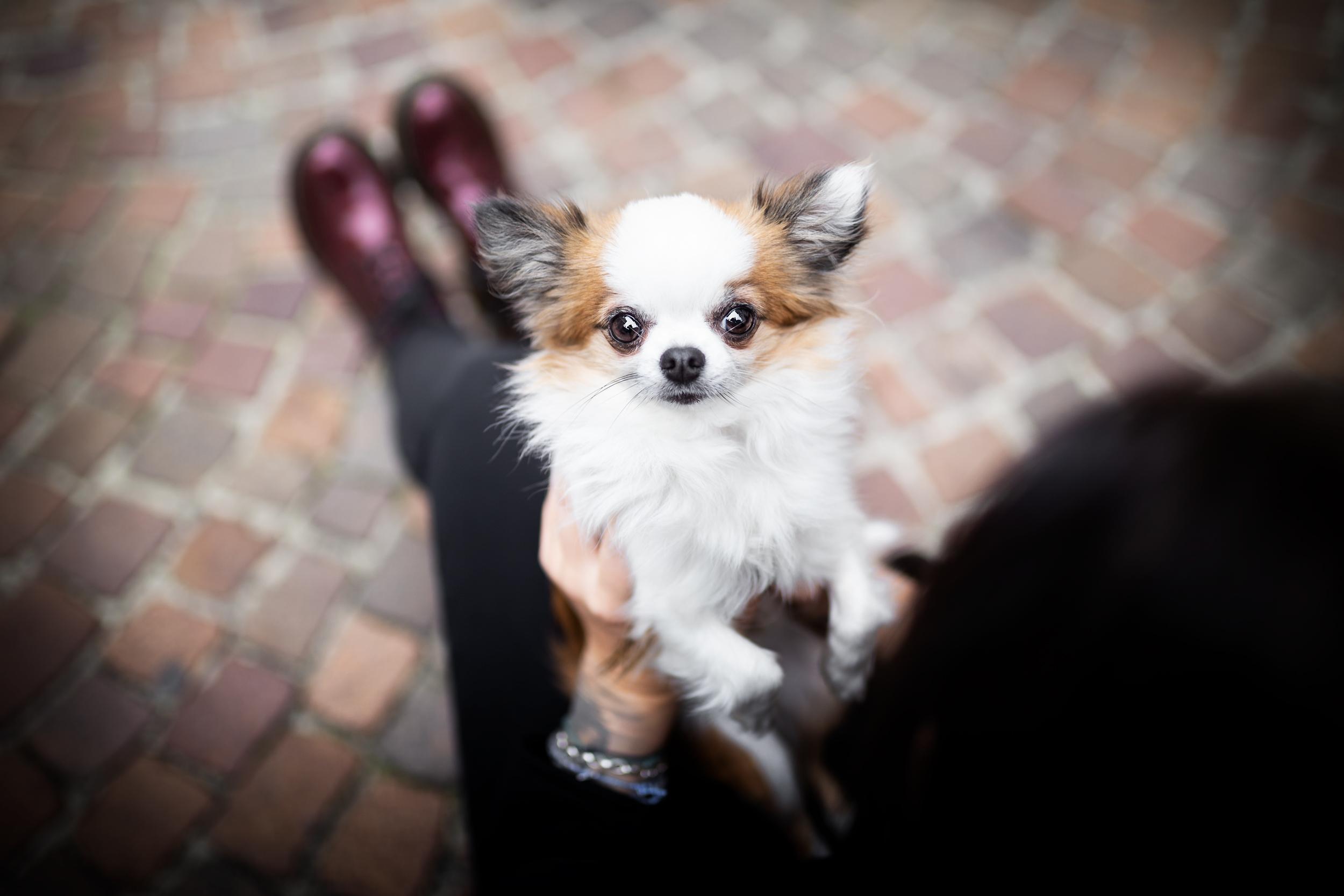 Chihuahuas Blick Hundefotografie in der Schweiz