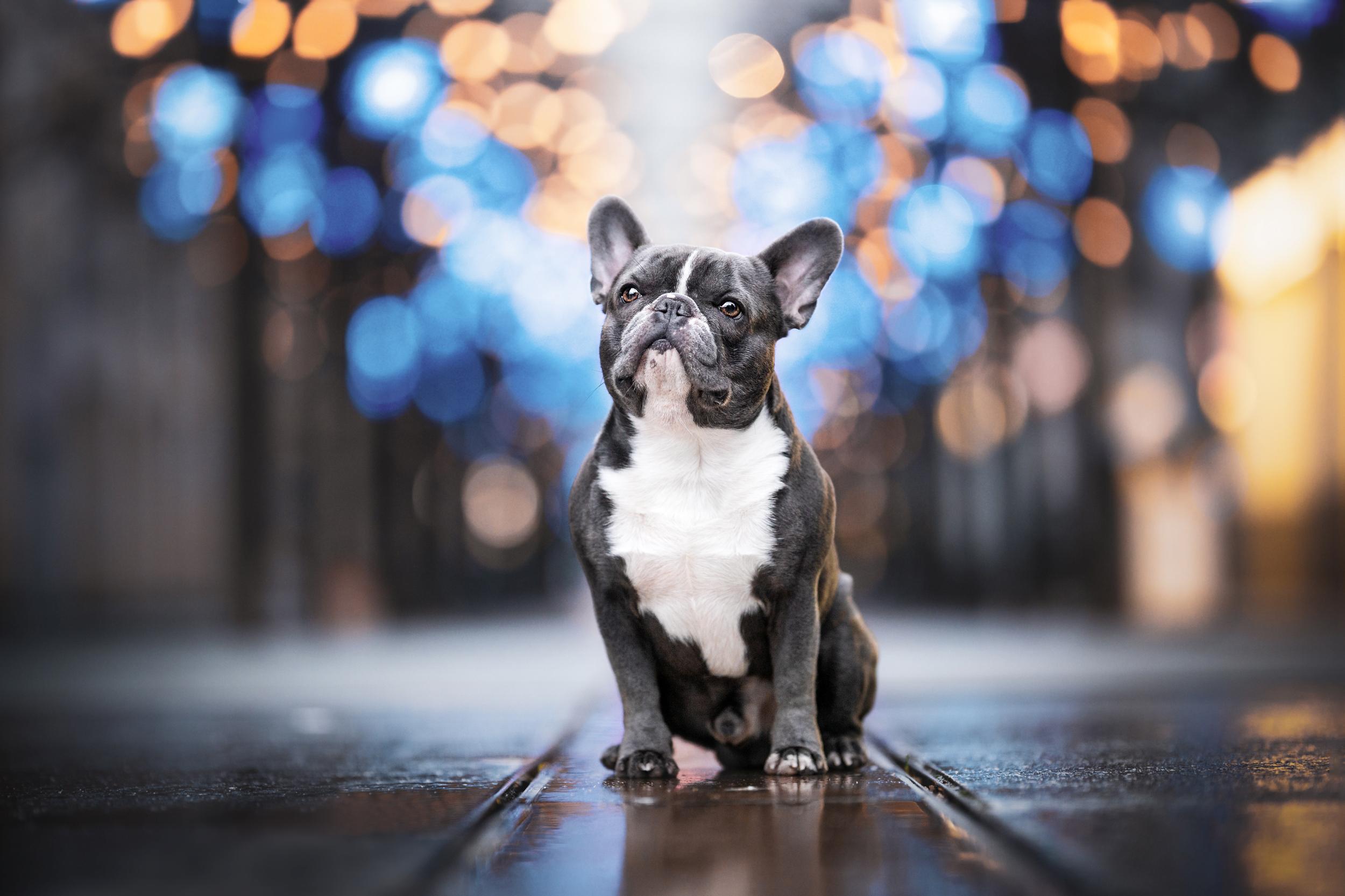 French Bulldog Hundefotografie Schweiz Photo-Passion