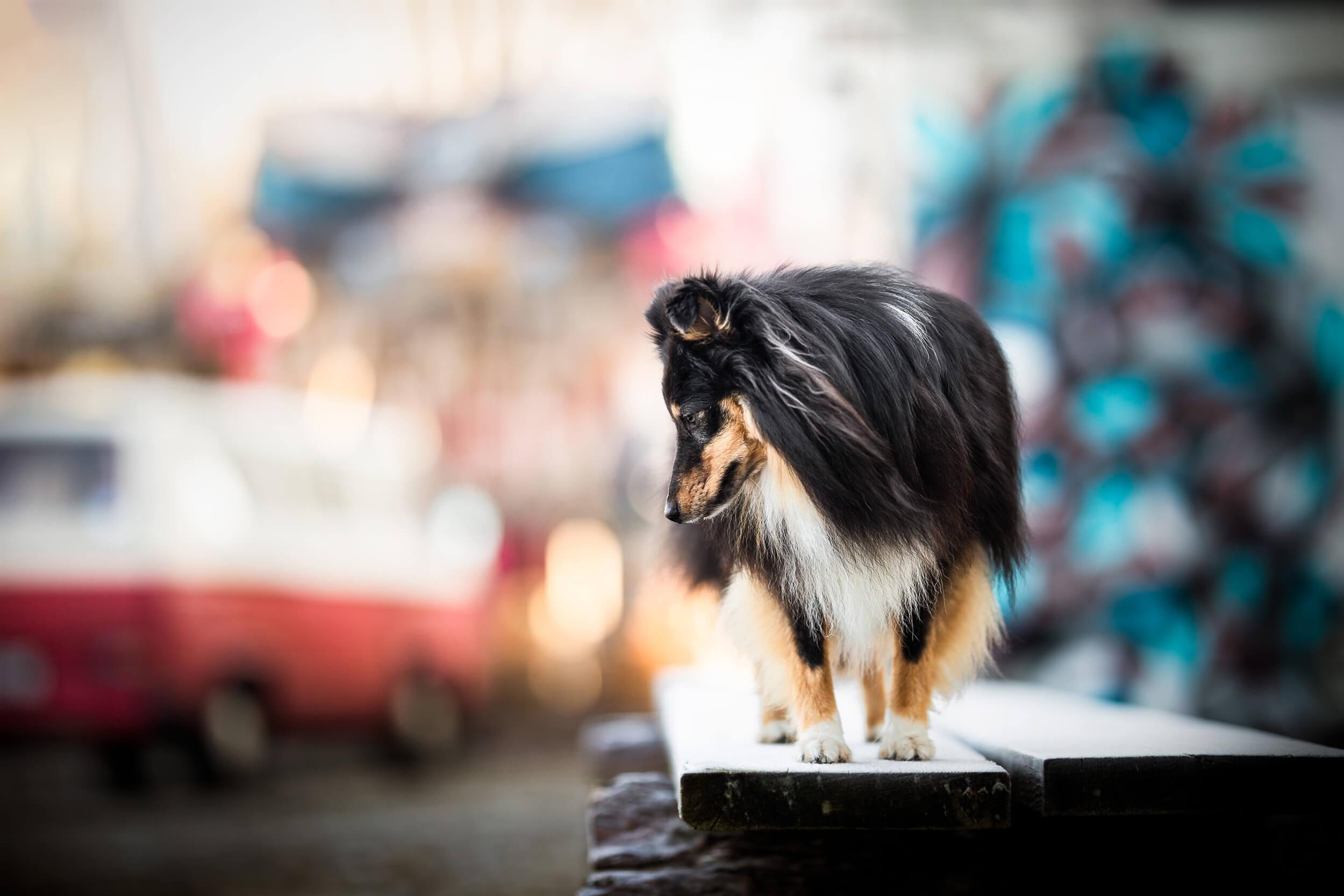Sheltie am Hafen von Basel Hundefotografie Schweiz Photo-Passion Denise Czichocki