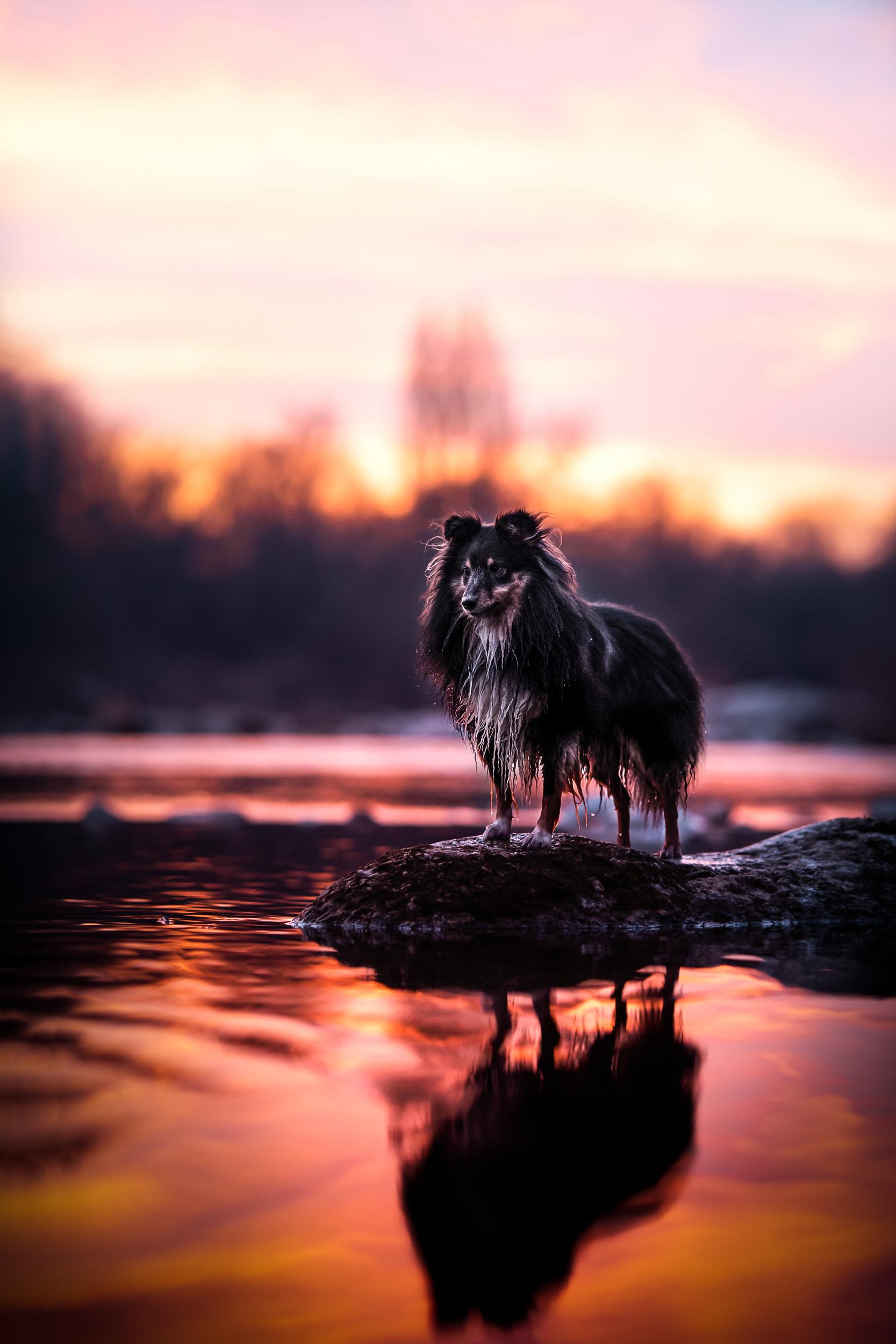 Sheltie im Sonnenuntergang am Rhein Schweiz Hundefotografie
