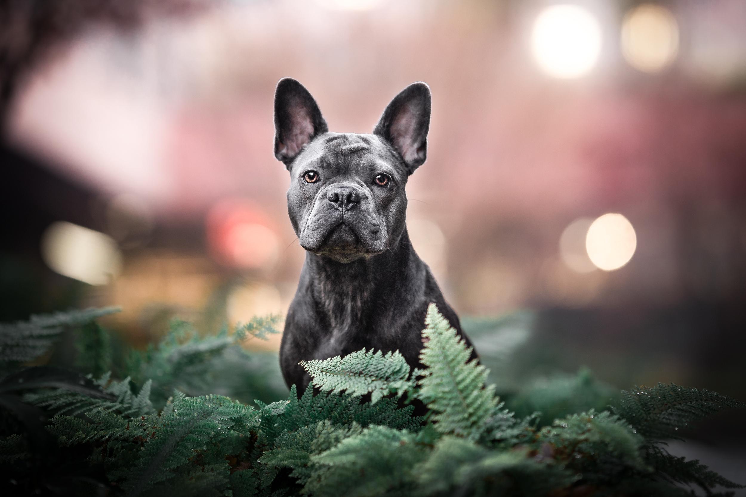 Hundefotografie Einzelcoaching Franzoesische Bulldogge im Farn