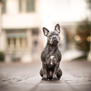 Franzoesische Bulldogge in der Altstadt von Rheinfelden Schweiz