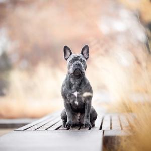 Franzoesische Bulldogge sitzt in Rheinfelden Schweiz