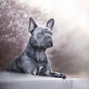 French Bulldog in Rheinfelden
