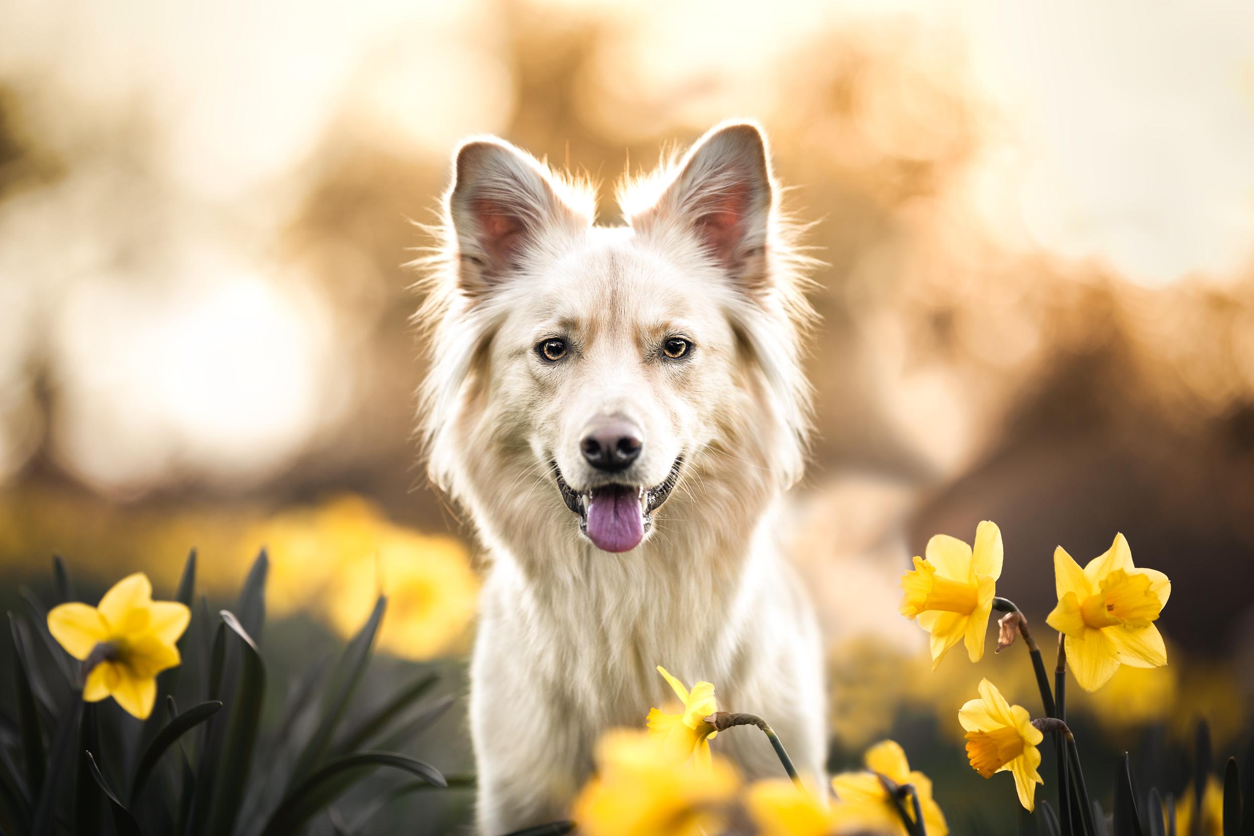 Schaeferhundmischling in den Osterglocken Hundefotografie Schweiz Photo-Passion Denise Czichocki