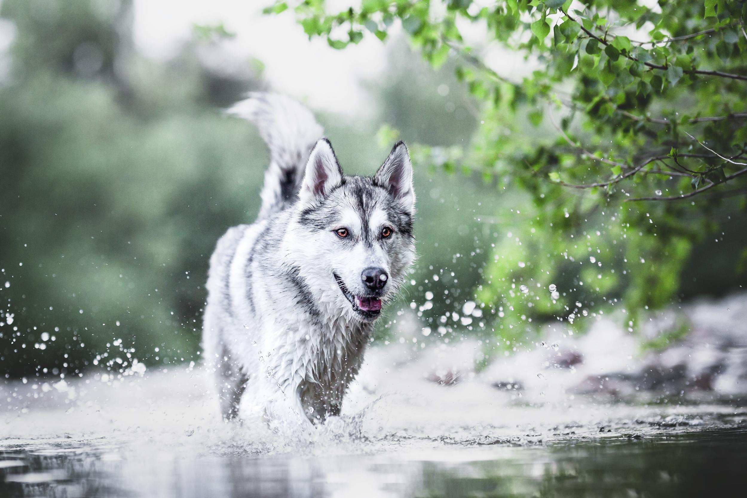 Husky tobt im Wasser