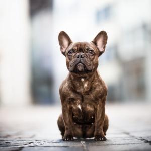 Franzoesische Bulldogge sitzt in der Altstadt Rheinfelden