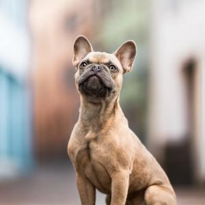 Junger french bulldog welpe sitzt in fussgaengerzone