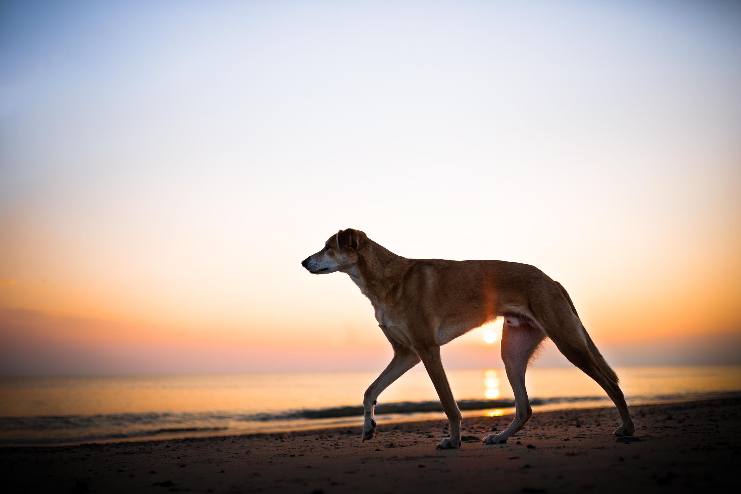 Windhundmischling im Sonnenuntergang an der Kueste von Daenemark