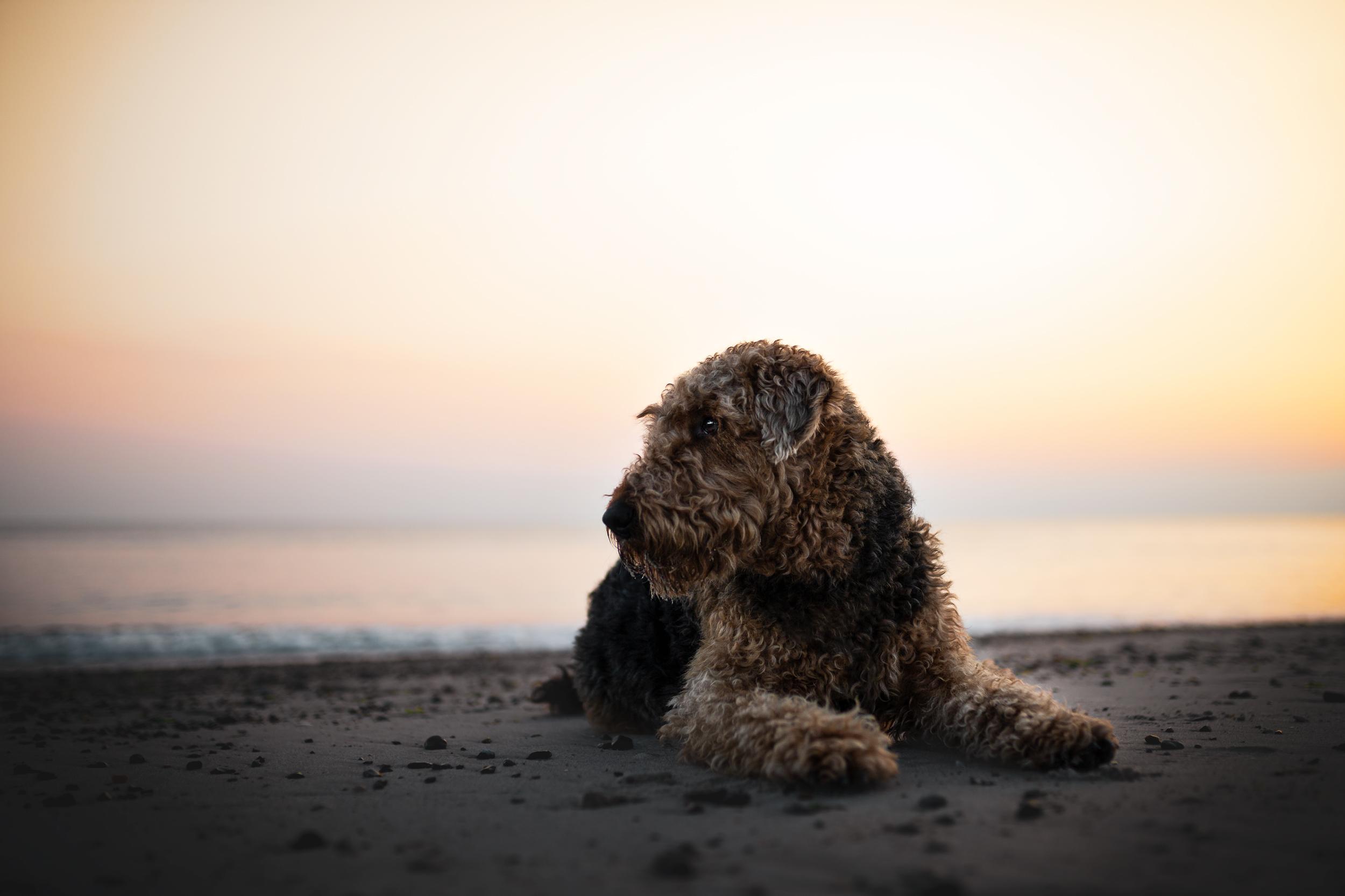 Airdale Terrier liegt im Sand am Meer von Daenemark