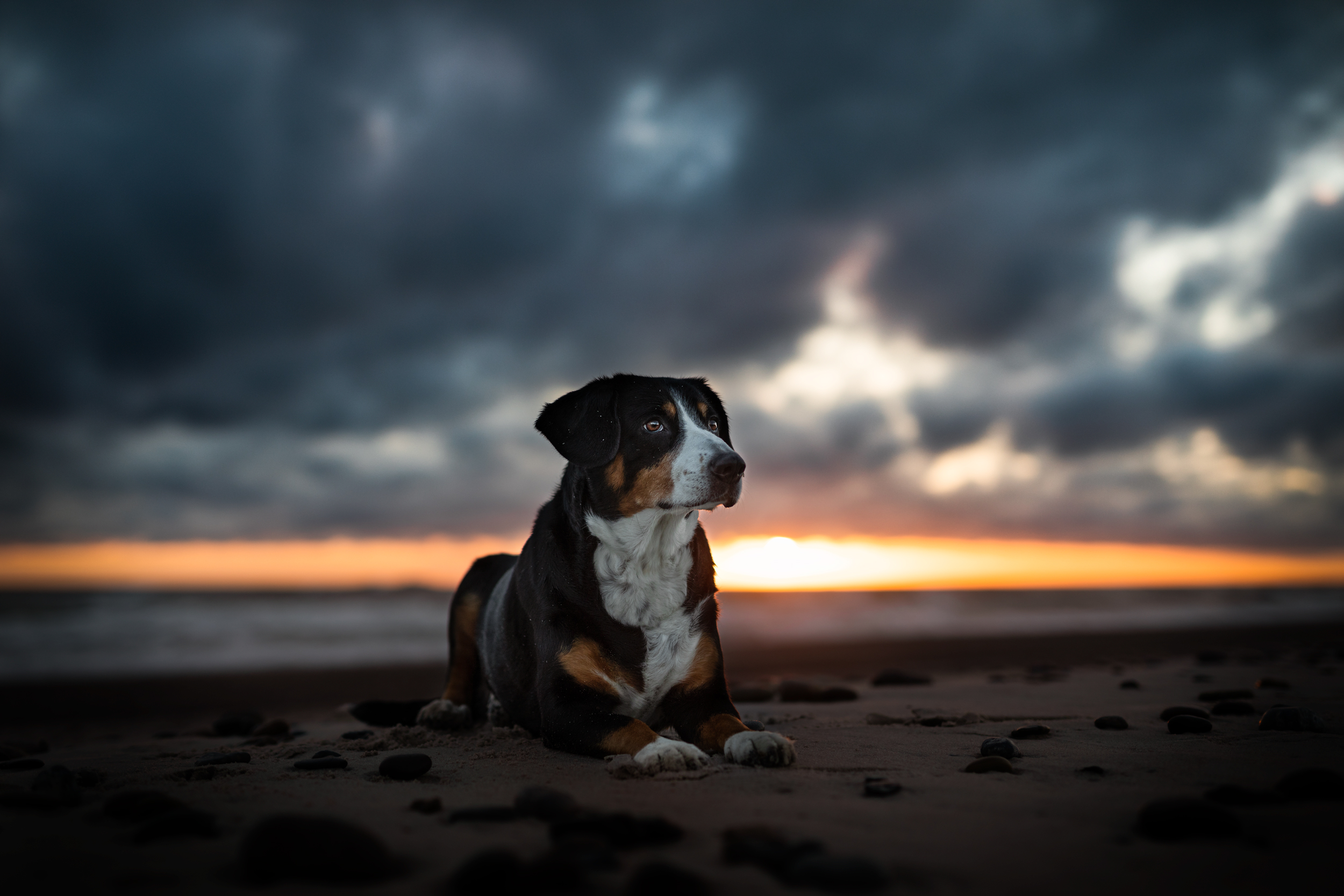 Entlebucher Sennenhund im Sonnenuntergang am Meer in Daenemark